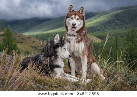 Beautiful Husky Dogs, Walk In Mountains. Siberian Husky Dogs On The Background Of A Mountain Landsca