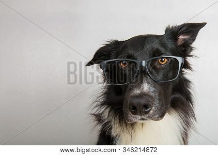Close Up Portrait Of Funny Dog Wearing Glasses. Purebred Border Collie Nerd, Back To School, Animal