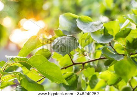 Unripe Apricot Fruit In Sunny Day, On Apricot Tree In Garden. Sun Rays In Sunny Apricots. Sunlight I
