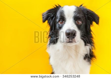 Funny Studio Portrait Of Cute Smilling Puppy Dog Border Collie Isolated On Yellow Background. New Lo