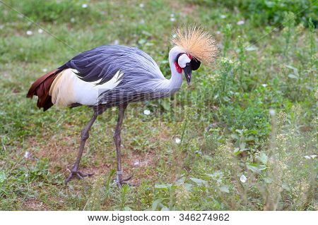 The Black Crowned Crane, Also Known As The Black Crested Crane, Is A Bird In The Crane Family Gruida