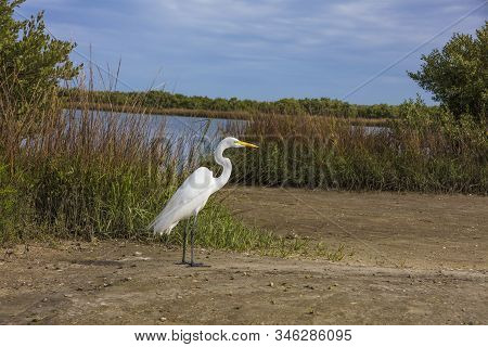 Great Egret Standing Along Waterway St Augustine Florida