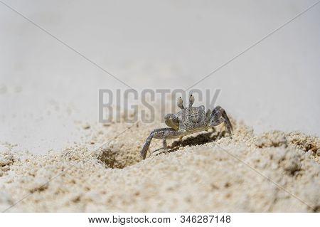 A Semi Terrestrial Ghost Crab On The Sand Beach Near The Ocean, Zanzibar, Tanzania. It Is Also Somet