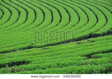 Fresh Green Tea Plantation In Chiang-rai, Thailand, Agriculture And Natural Background Concept