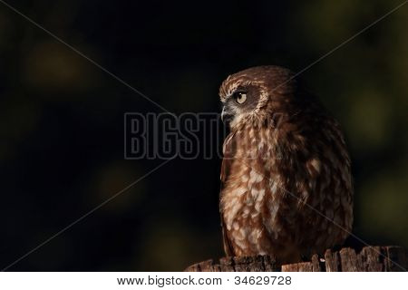 boobook or barking owl species lamington national park world heritage area poster