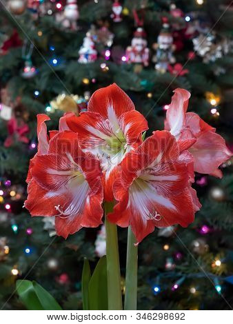 Closeup Of Red Amaryllis (amaryllis Minerva) On Christmas Tree With Ornaments Background.