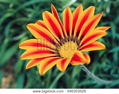 Daybreak Red Striped Flower Or Gazania Flower On Background Green Leaves Grows In Garden. Close Up A