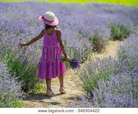 Pretty little girl walking in the flowering lavender field and gathering flowers.