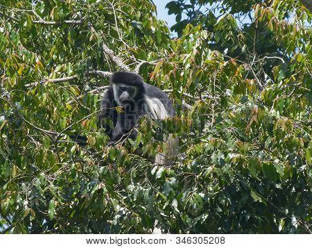 A Colobus Monkey Feeding At Arusha National Park