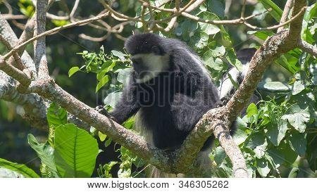 A Black And White Colobus Monkey Feeding