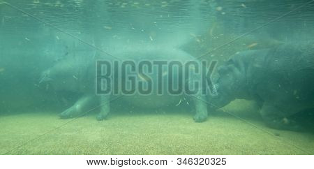 Under Water Hippo, Selective Focus On Hippo, Dirty Water