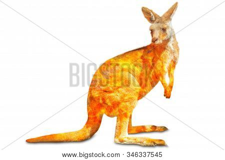 Composition About Kangaroo Wildlife In The Australian Bushfires In 2020. Standing Kangaroo With Fire
