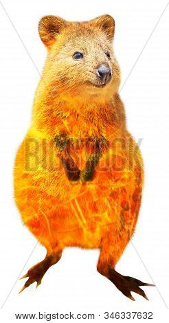 Composition About Quokka Wildlife In The Australian Bushfires In 2020. Quokka With Fire Isolated On
