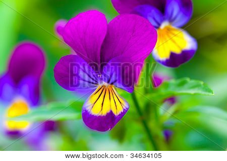 Violas or Pansies