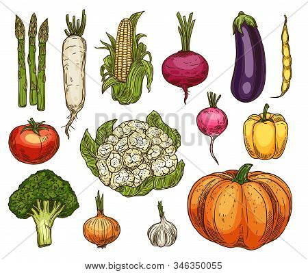 Vegetable Sketches, Isolated Vector Daikon Radish, Asparagus And Corn, Beetroot And Eggplant, Tomato