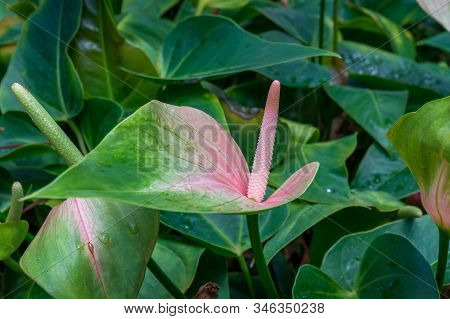 Close Up Of Beautiful Anthurium, Spathe Flower With Green Foliage Nature Background. Blooming Spathi