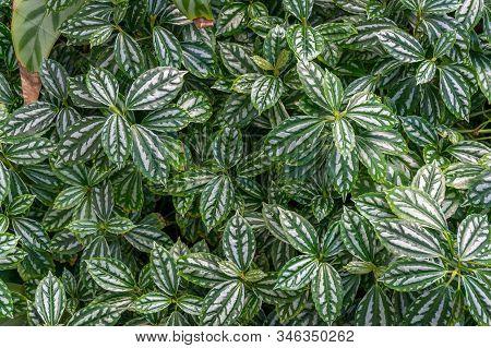Pilea Cadierei Or Aluminium Plant, Watermelon Pilea Houseplant With Oval Green Leaves Texture. Tropi