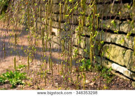 Spring Earrings With Birch Pollen. Birch Earrings Bloom Against A Stone Wall, Yellow Blooming Earrin