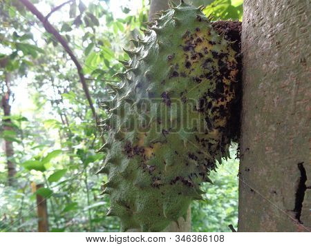 Soursop, Prickly Custard Apple. (annona Muricata L./sirsak) On Tree In The Garden