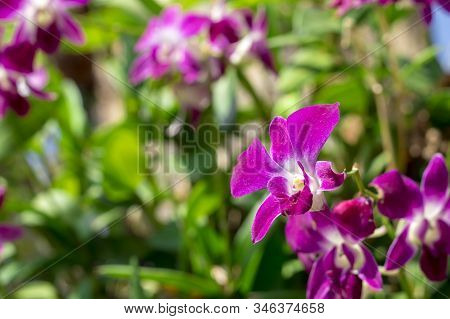 Closeup Selected Focus Multi Color Beautiful Tropical Orchid Flower As Flora In The Garden