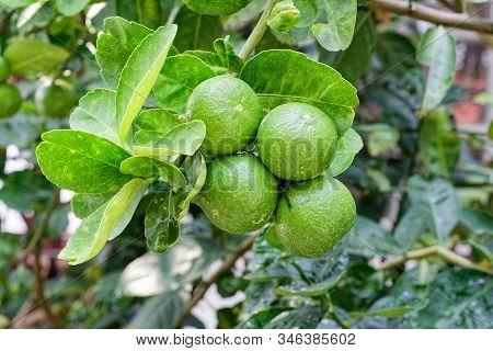 The Kaffir Lime Tree Is Dense. Fresh Bergamot Fruits On Bergamot Tree. The Result Is A Sphere.