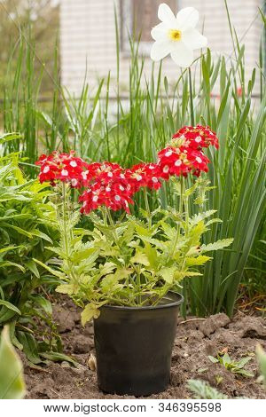 Flowering Red Verbena In A Plastic Pot In The Garden. Verbena Flowers With Narcissus And Green Grass