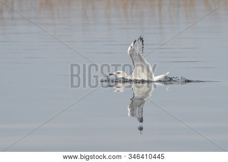 Caspian Gull (larus Cachinnans) Just Landed In The Oder Delta In Poland, Europe.. Blue Background Wi