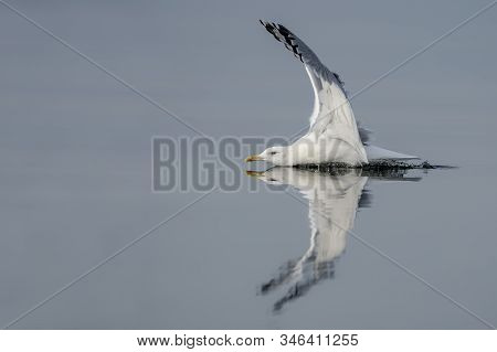 Caspian Gull (larus Cachinnans) Just Landed In The Oder Delta In Poland, Europe. Blue Background Wit