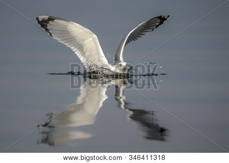 Caspian Gull (larus Cachinnans) Just Landed In The Oder Delta In Poland, Europe. Blue Background. Re