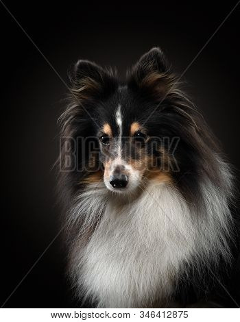 Portrait Of A Dog On A Black Background. Pet On The Dark. Tricolor Sheltie In A Photo Studio