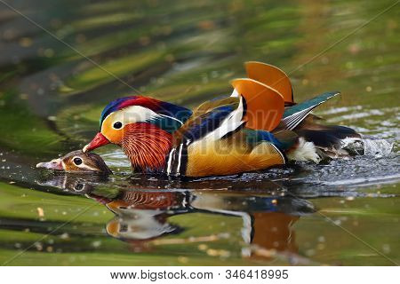 The Mandarin Duck (aix Galericulata) Mating Time Of Mandarin Ducks. Pair Of Ducks During Courtship.