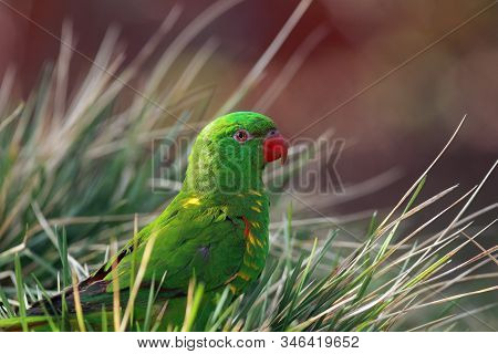 The Scaly-breasted Lorikeet (trichoglossus Chlorolepidotus) Sitting On The Ground In The Grass. Gree