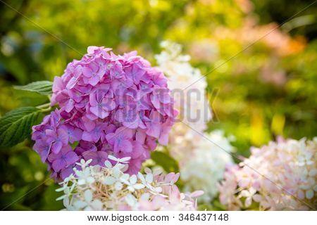 Blooming Great Bush Of Pink Flower Hydrangea In The Garden.beautiful Bush Of Pink Hydrangea Flowers