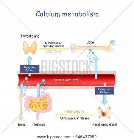 Calcium Metabolism, And Impact On Human Organs. Vitamin D Deficiency. Medical Vector Illustration. L