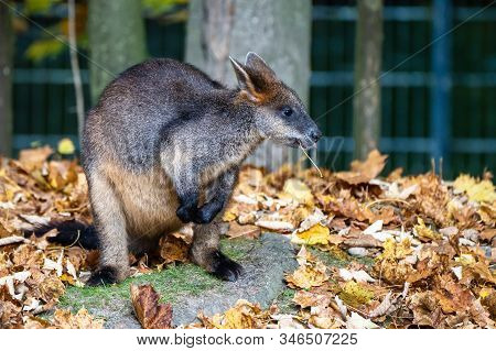 Swamp Wallaby, Wallabia Bicolor, Is One Of The Smaller Kangaroos. This Wallaby Is Also Commonly Know