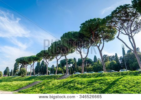 Italian Stone Pines Pinus Pinea Also Known As Umbrella Pines And Parasol Pines, Tall Trees Near Aven