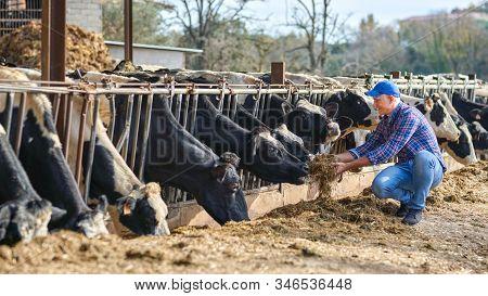 Portrait Of Farmer Feeding Cows In Farm.
