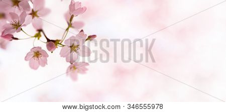Spring Cherry blossoms. opening up above with some flower buds remaining. Japanese Yoshino cherry trees.