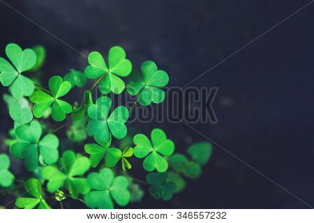 Close Up Of Green Fresh Bright Shamrock Leaves On Blurred Dark Background. Rural Nature View. Spring