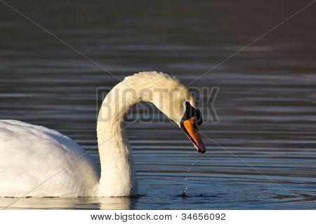 Mute Swan (cygnus Olor Anatidae)