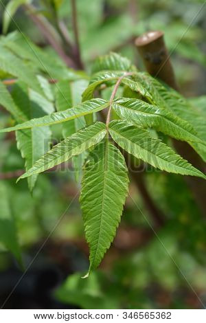 Staghorn Sumac Leaves - Latin Name - Rhus Typhina