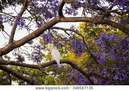 Sulphur-crested Cockatoo Sitting On A Beautiful Blooming Jacaranda Tree.
