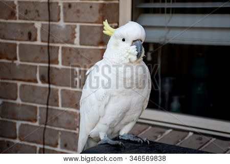Sulphur-crested Cockatoo Sitting Near The Window And The Brick Wall