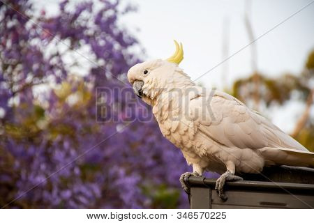Sulphur-crested Cockatoo Sitting On A Roof With Beautiful Blooming Jacaranda Tree On Background.