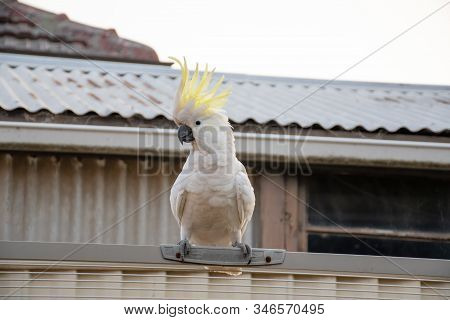 Curious Sulphur-crested Cockatoo Sitting On The Fence With Opened Crest