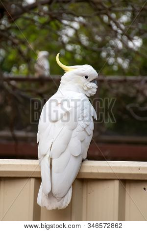 Curious Sulphur-crested Cockatoo Sitting On The Backyard Fence