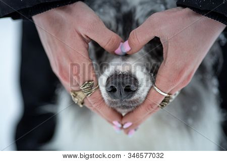 Hands And Nose Of The Dog. Black Nose In Winter. Love, Sweet, Valentines Day