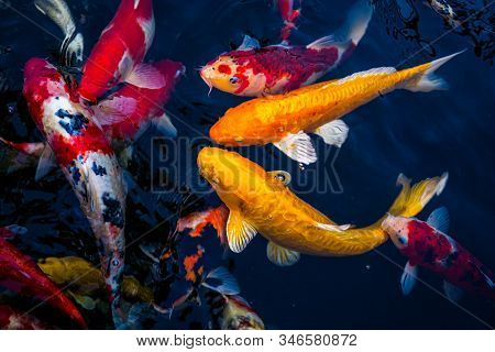 Japan Koi Fish Swimming In A Water Garden,fancy Carp Fish,koi Fishes,koi Fish Swim In Pond.isolate B