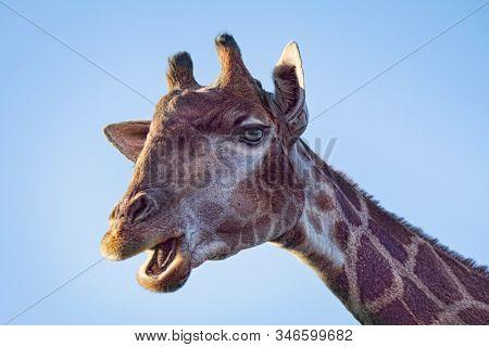 portrait of giraffe on blue sky mouth open talking wild nature zoo