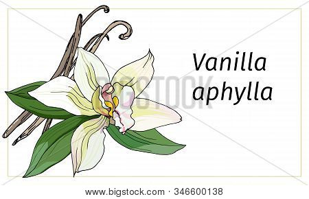 Vanilla Flower On A White Background. Realistic Vector Illustration. Tropical Flower Vanilla Aphylla